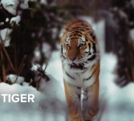 WWF challenges runners to race a tiger in new cause marketing campaign