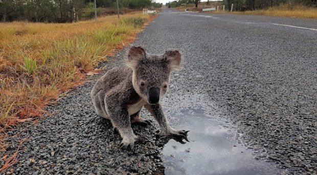 WWF Australia erects 'Koala Museum' to commemorate koala extinction
