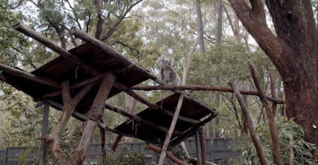 Episode four of the 'Brand Summit Road Trip': Port Macquarie Koala Hospital