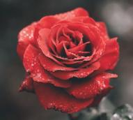 A virtual 'International Rose Garden Festival'